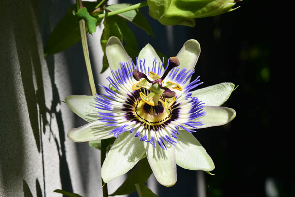 In the garden, the ever beautiful passion fruit flower.