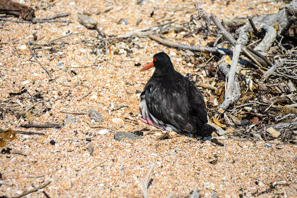 An Oyster Catcher seems quite untroubled by our presence.